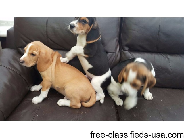 Stunning Beagle Puppies For adoption - Animals - Lost River - West