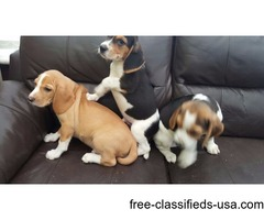 Stunning Beagle Puppies For adoption