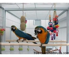 Pair of blue and Gold Macaw for free