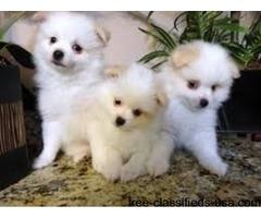 Healthy Pomerrania Puppies Available