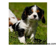 Awesome Cavalier King Charles Spaniel Puppy