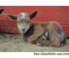 Nigerian Dwarf goat kids in Arizona | free-classifieds-usa.com