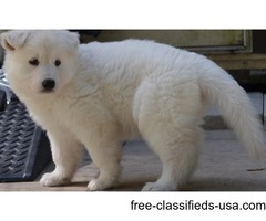 Male pick of the Litter Long Coat berger blanc suisse shepherd puppies