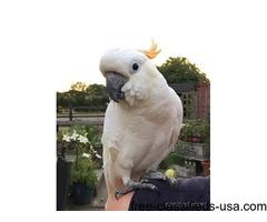 Ducorps Cockatoo for adoption