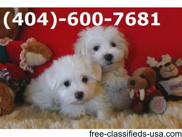 Available AKC Tea-Cup Maltese Puppies!   free-classifieds-usa.com