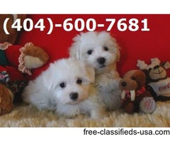 Available AKC Tea-Cup Maltese Puppies!