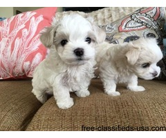Registered AKC Tea-Cup Maltese Puppies!