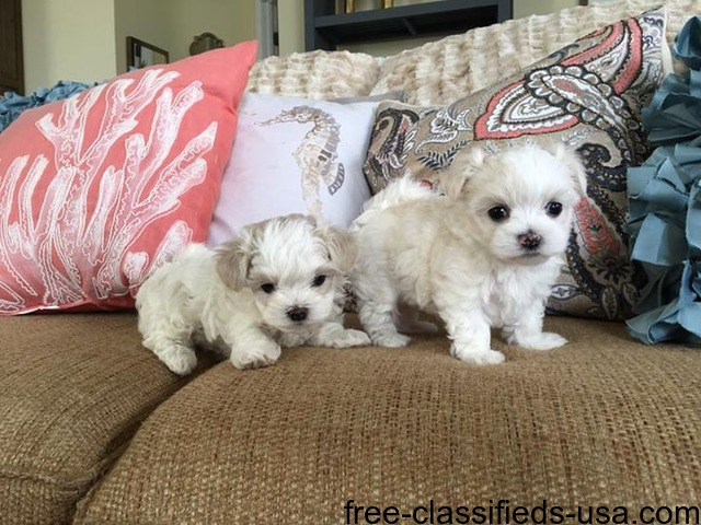 maltese breeders in michigan akc tea cup maltese puppies now ready to go animals 8199