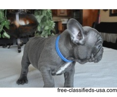 Stunning Chunky Show Quality Frenchies For Sale