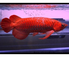 Asian Red arowanas from Asia And Many Others Now