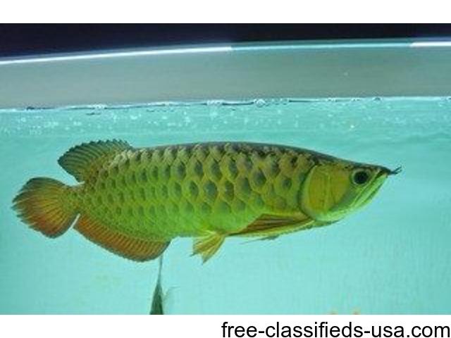 Golden arowana fish for sale animals albany new york for Arowana fish for sale online