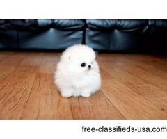Akc Teacup Pomeranian Pup