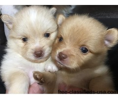 Male Beaver and light beaver pure bred Pomeranians ready