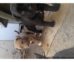 Beautiful bandogge puppies