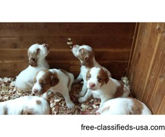 akc brittany puppies -hall of fame