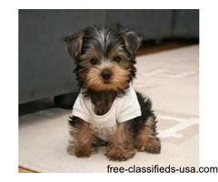 2 Adorable Yorkie Puppies For Free Adoption.