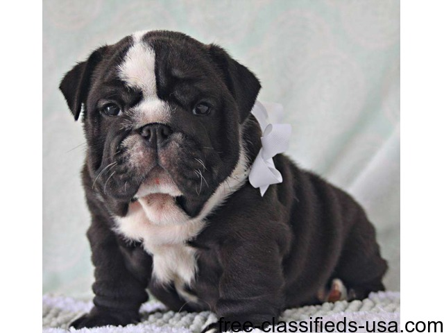 english bulldog puppies for sale in mississippi amazing pure english bulldog puppies for sale animals 6547