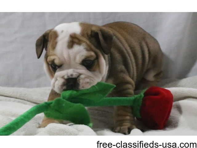 english bulldog puppies for sale in mississippi amazing pure english bulldog puppies for sale animals 8036