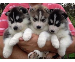 Blue Eyes Siberian Huskies