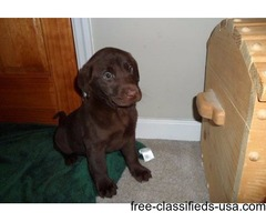 Labrador Retriever Puppies Ready to Go