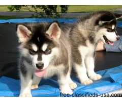 Adorable Alaskan Malamute Puppies