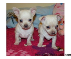 Marvelous male and female Chihuahua puppies now ready to go.