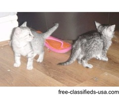 Egyptian Mau Kittens for sale now.