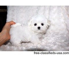 Top AKC T-Cup Maltese  Puppies Now Available. Text/Call (404)  600-7681