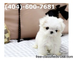 T-Cup Maltese  Puppies Now Available