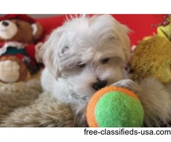 T-Cup Maltese Puppies Now Available with amazing personalities.