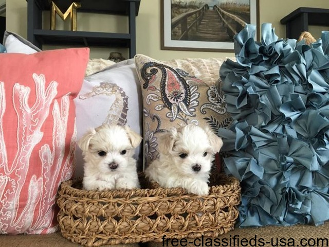 Amazing AKC T-Cup Maltese Puppies Now Available - Animals