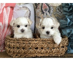 Adorable Male/Female Tcup Maltese Puppies Now Available