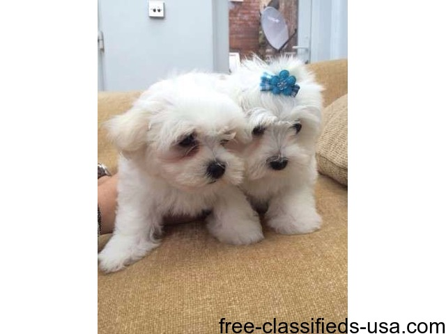 Tcup Maltese Puppies Now Available - Animals - Hammond