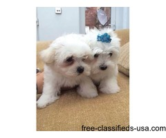Tcup Maltese  Puppies Now Available