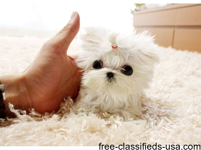 Adorable Male/Female Tcup Maltese Puppies Now Available  - Animals