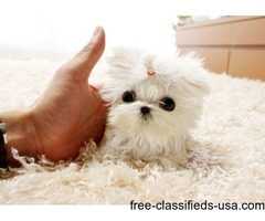 Adorable Male/Female Tcup Maltese  Puppies Now Available.