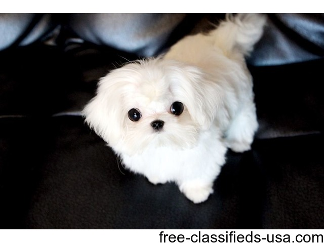 Cute Male/Female Tcup Maltese Puppies Now Available