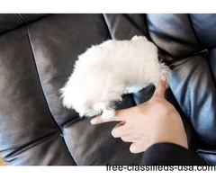 Affordable  Tcup Maltese  Puppies Now Available
