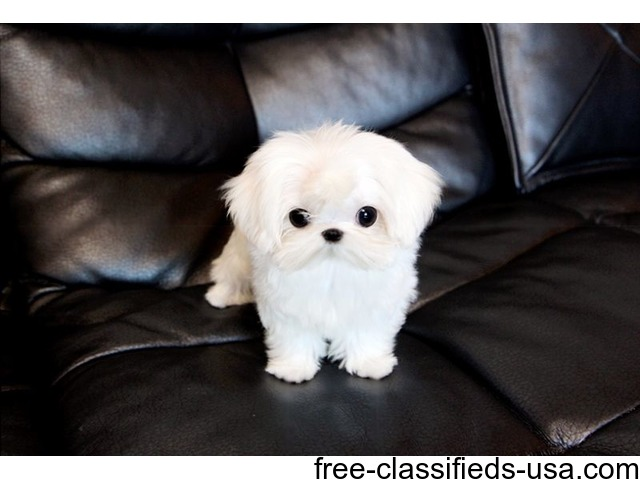 Lovely Tcup Maltese  Puppies Now Available | free-classifieds-usa.com