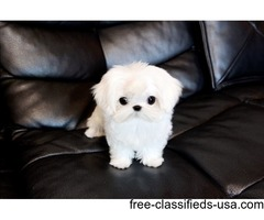 Lovely Tcup Maltese  Puppies Now Available