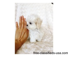 T-Cup Maltese  Puppies Now Available.