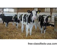 Jerseys and Holsteins calves (good price) for Sale