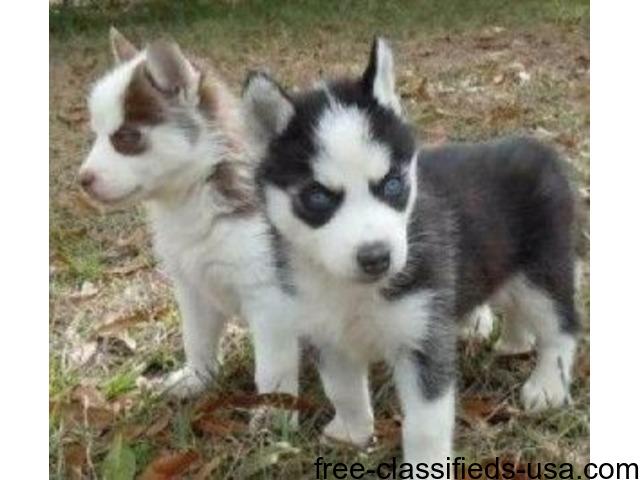 Cute Siberian Husky Puppies For Adoption Animals Portland