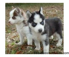 Cute Siberian Husky Puppies for  Adoption.
