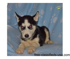 Pure breed Adorable Siberian husky puppies available