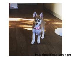 Siberian Husky F-9 Weeks Old Puppy