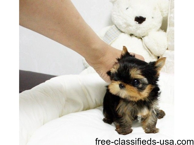 Adorable Teacup Yorkie Puppies For Adoption Animals Alamosa