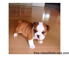 Pedigree registration AKC English Bulldog Puppies