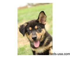 Super Cute and Adorable German Shepherd puppies for sale