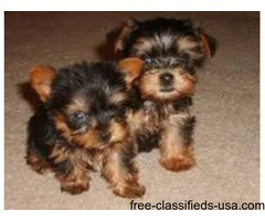 X-MAS CUTE MALE AND FEMALE YORKIE PUPPIES .
